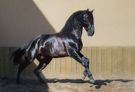 Beautiful black Andalusian horse running in paddock at sunset.
