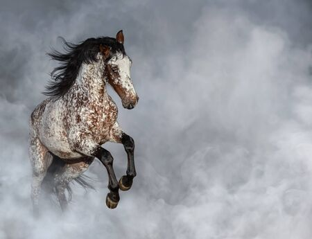 Crossbreed between Appaloosa and Andalusian horse rearing in light smoke with space for text.