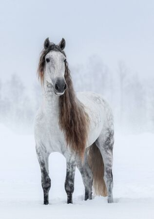 Winter cloudy landscape and dapple-grey long-maned Andalusian Horse. Stock Photo