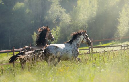 Herd of Spanish horses walks in field. Two stallions galloping on pasture at summer time. Stock Photo