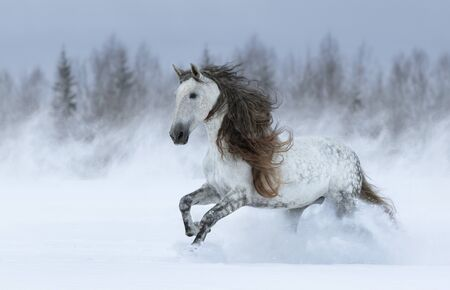 Grey long-maned Purebred Spanish horse galloping during blizzard across winter meadow. Stock Photo