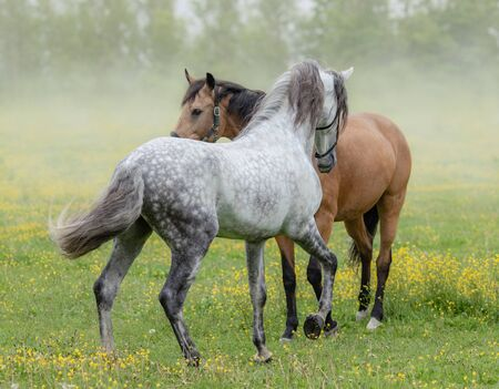 Spanish gray stallion and bay mare on summer pasture. Stock Photo