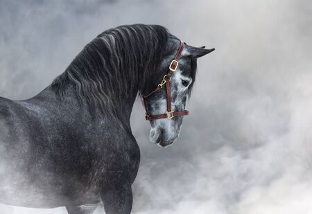 Horizontal portrait of dark gray Purebred Spanish horse in halter in light smoke.