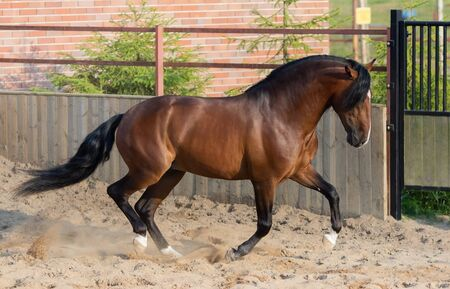 Bay Andalusian horse gallops in paddock. Stock Photo