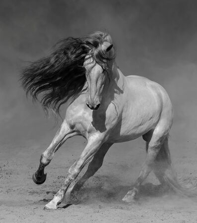 Light gray Purebred Andalusian horse plays on sand in dust. Black-and-white photo. Stock Photo