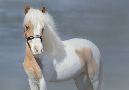 Paint American Miniature Horse on nature background. Stock Photo