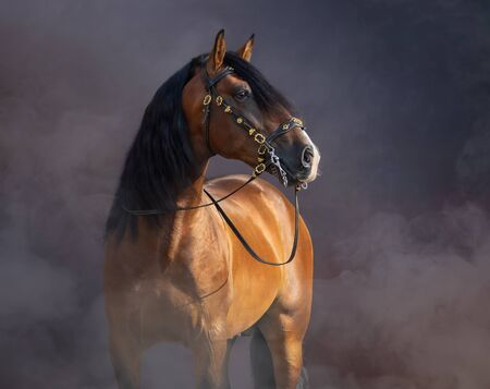 Bay Purebred Spanish Horse in baroque bridle in light smoke. Stock Photo