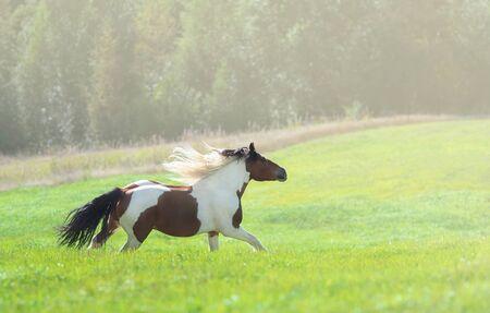 Paint cavallo al galoppo attraverso il prato verde estivo. Bellissimo paesaggio rurale. Archivio Fotografico