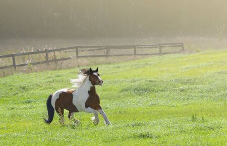 Paint horse galloping across summer green field on farm. Beautiful rural landscape.