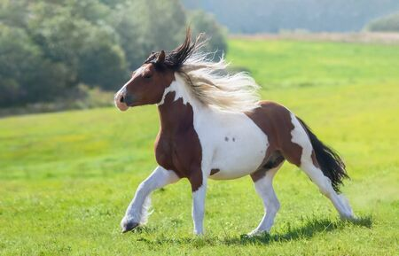 Gypsy horse galloping across summer green field. Beautiful summer landscape.