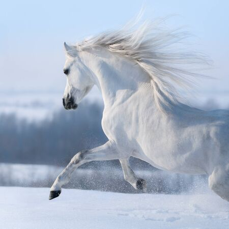 Beautiful white horse with long mane galloping across winter snowy meadow. Stock Photo
