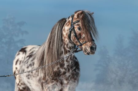 Horizontal portrait of Appaloosa miniature horse in black halter in winter landscape.