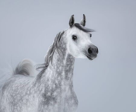 Portrait of dapple dray Arabian horse on light gray background.