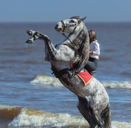 Rearing Andalusian dapple gray stallion and happy woman on beach.
