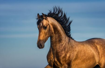 Portrait of light bay Andalusian horse against blue sky. Stock Photo