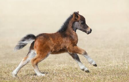 American miniature horse. Bay foal in motion. Side view.