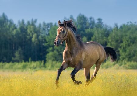 Andalusian horse in summer blooming field. Beautiful summer landscape.