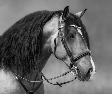 Spanish horse with long mane and forelock in bridle. Black and white portrait.