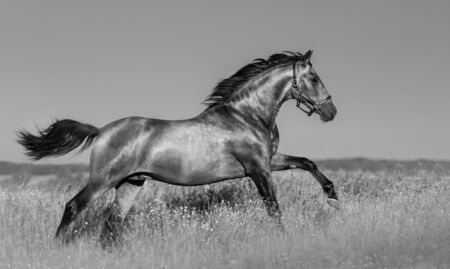 Andalusian horse in blooming field. Black and white landscape photo.
