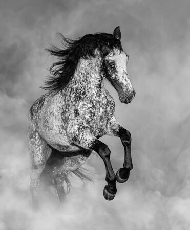Black and White portrait of Appaloosa horse in light smoke. Stock Photo