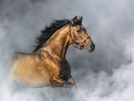 Light bay Purebred Spanish Horse in halter in light smoke.