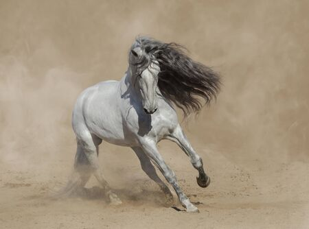 White Purebred Andalusian horse playing on sand in paddock in dust.
