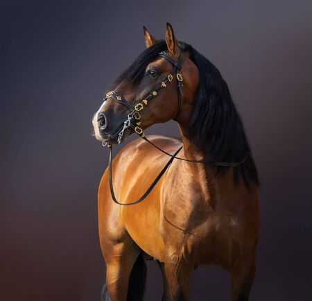 Bay Purebred Spanish Horse in traditional baroque bridle on dark background.