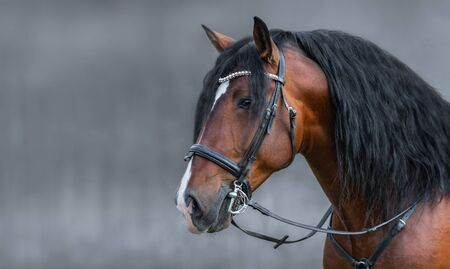 Portrait of Andalusian bay horse with long mane in bridle on gray background with space for text. Stock Photo