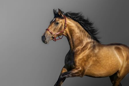 Portrait in motion of golden bay Andalusian horse on gray background.