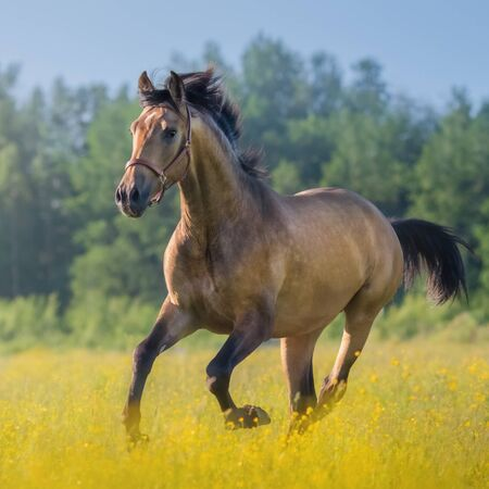 Light bay Andalusian horse in field of flowers on farm.