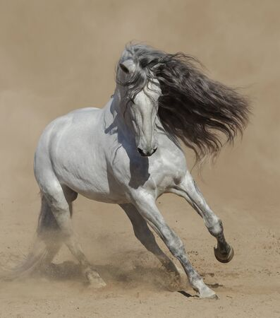 Light gray Purebred Spanish horse playing on sand in dust. Stock Photo