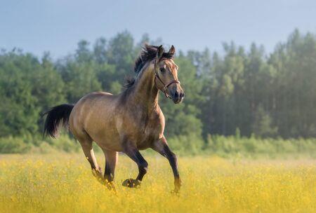 Andalusisches Pferd der goldenen Bucht, das über blühende Sommerwiese galoppiert. Schöne ländliche Landschaft.