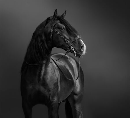 Andalusian Horse in portuguese baroque bridle. Black-and-White photo. Stock Photo