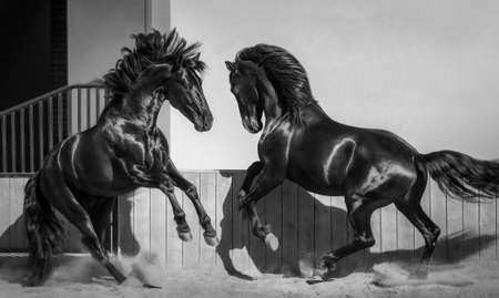 Two Andalusian stallions playing together in paddock. Black and White photo.