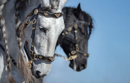 Portrait of two Andalusian horses in motion on sky background. Selective focus on white horse. Stock Photo