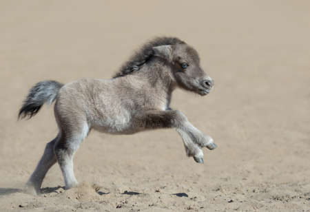 American miniature horse with blue eyes. Newly born foal in motion. Side view. Stock Photo