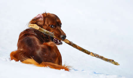 Dog breed Irish Red Setter with stick. Wintertime horizontal outdoors image.