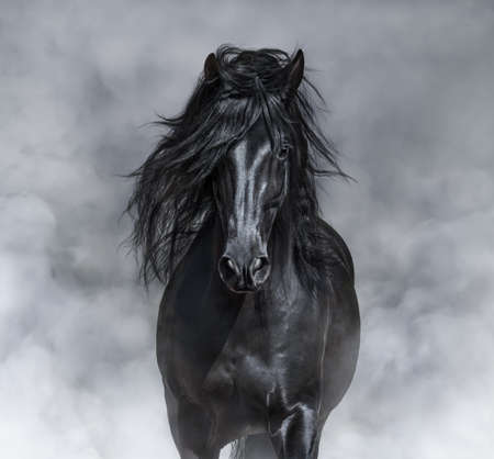 Black-and-White portrait of black Andalusian Horse in light smoke. Stock Photo