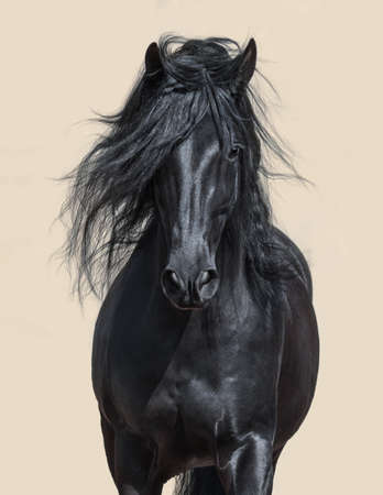 Portrait of black Andalusian Horse with long mane. Stock Photo