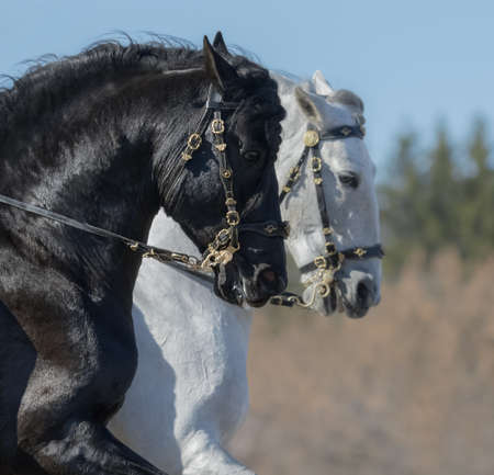 Portrait of two Andalusian horses in baroque bridle in motion. Selective focus on black horse.