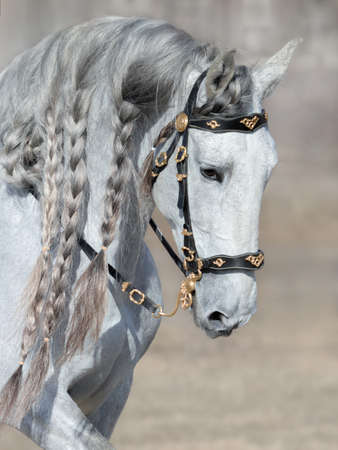 Andalusian light gray horse with long mane in baroque bridle.