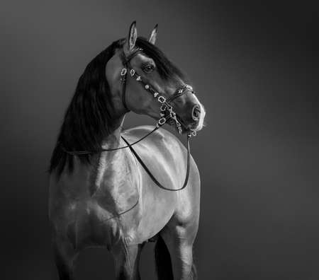 Black-and-White portrait of Andalusian Horse in traditional bridle. Stock Photo