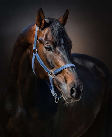 Portrait of bay Orlov-Rostopchin horse in blue halter on dark background.