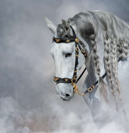 Spanish light gray horse with long mane in bridle in light smoke with space for text.