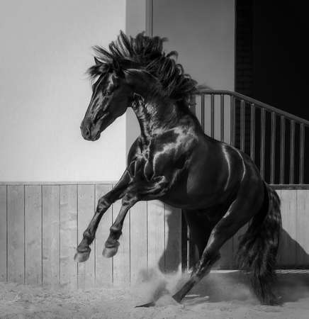 Spanish horse play in paddock. Black and White photo.