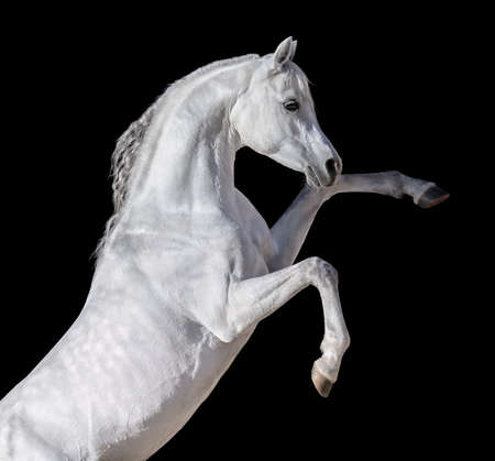 White Arabian horse rearing up. Isolated on black background. Stock Photo
