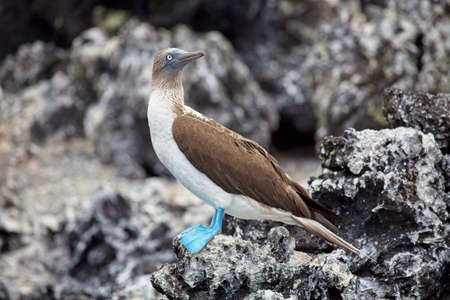 Blue Footed Booby (Sula nebouxii) standing on rocks Galapagos Islands, Ecuador.