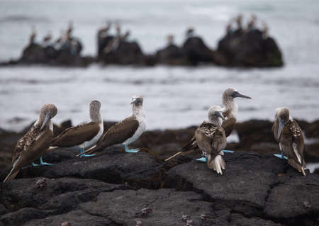 Group of Blue Footed Booby (Sula nebouxii) standing on rocks against ocean backdrop Galapagos Islands, Ecuador. Stock fotó