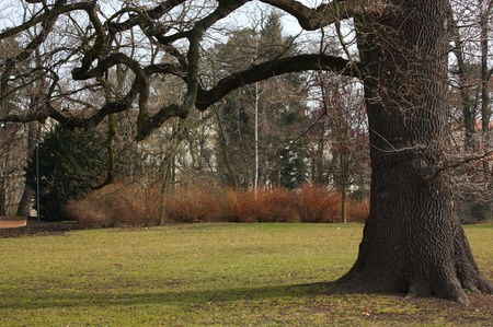 ramification: Old tree with long branches