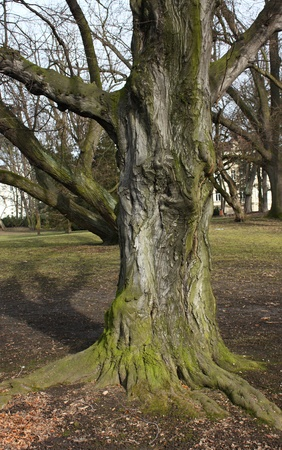 ramification: Old tree with interesting trunk and roots